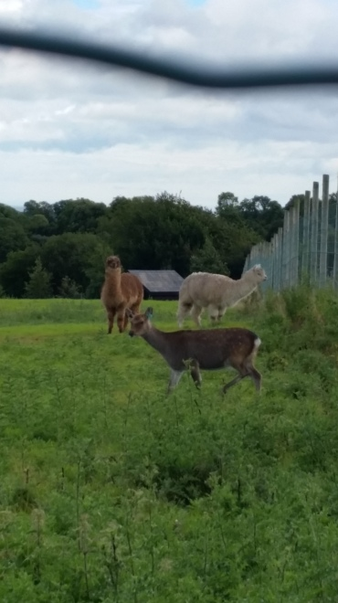 Alpacas! (and a deer)
